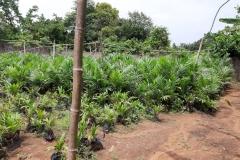 Oil-Palm-Nursery-2