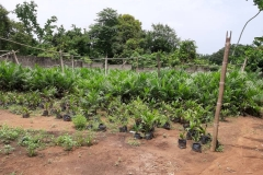 Oil-Palm-Nursery