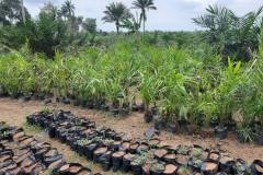 Oil-Palm-Seedlings-2