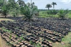 Oil-Palm-Seedlings
