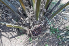 Year-2-Tenera-Oil-Palm